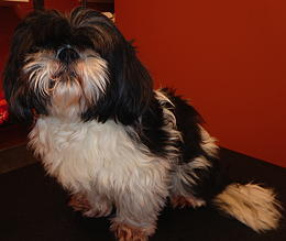Shih Tzu before grooming